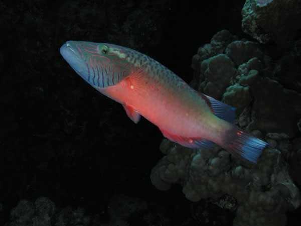 紅海の魚、アカバ