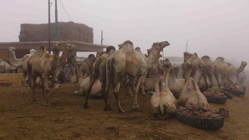 Birqash Camel Market, Cairo