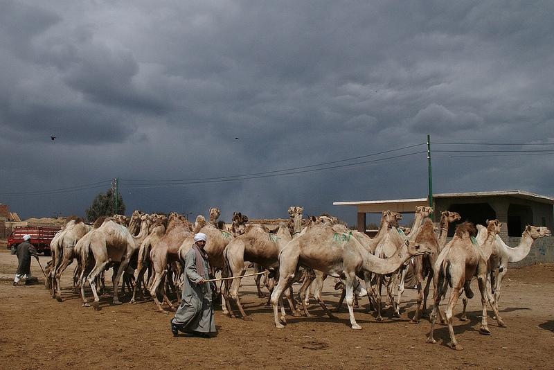 Cairo Half Day Tour to Camel Market