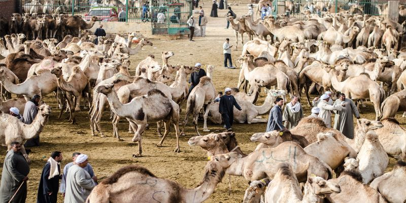How much is a Camel Worth in Egypt?!