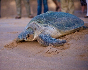Turtle Reserve of Oman