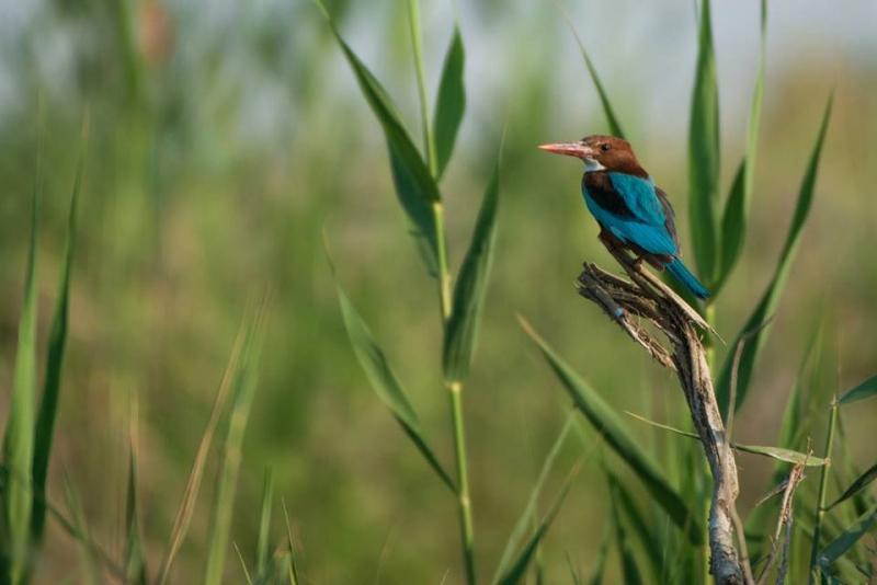 Pied Kingfisher Bird in Aswan