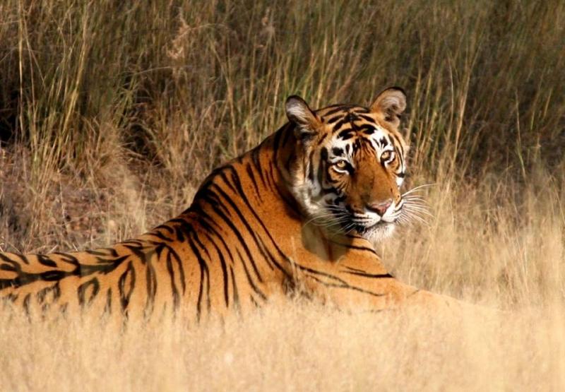 Tigres de rara extinción en el Parque de Ranthambore