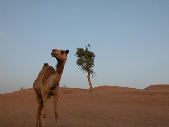 Escursione Costa Fortuna Safari a Dubai