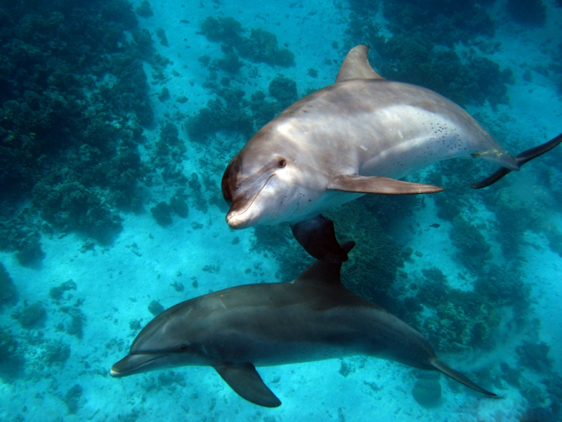 Dolphins at El Gouna, Red Sea