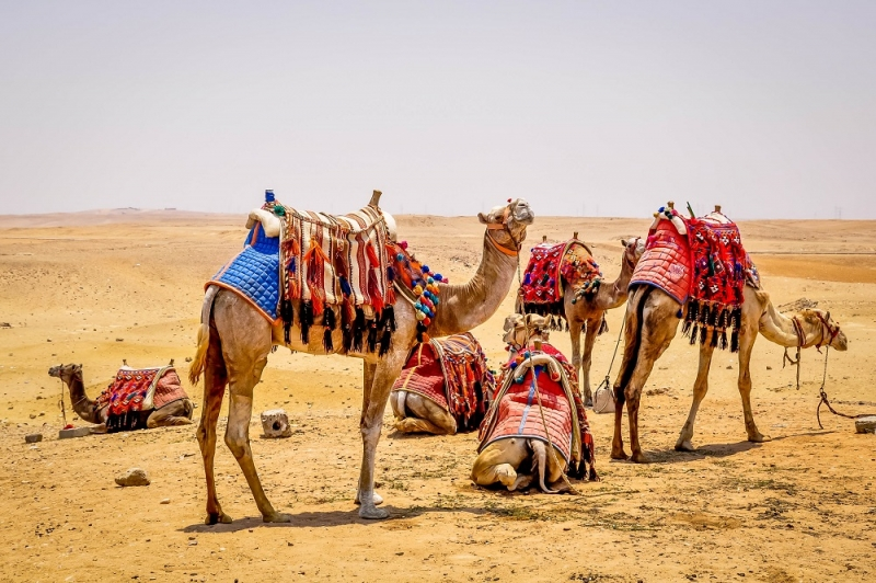 Camels in The Pyramids