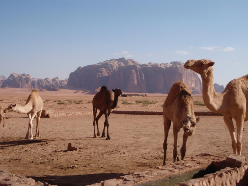 Camels at Lawrence's Spring