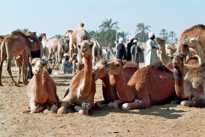 Daraw Camel Market