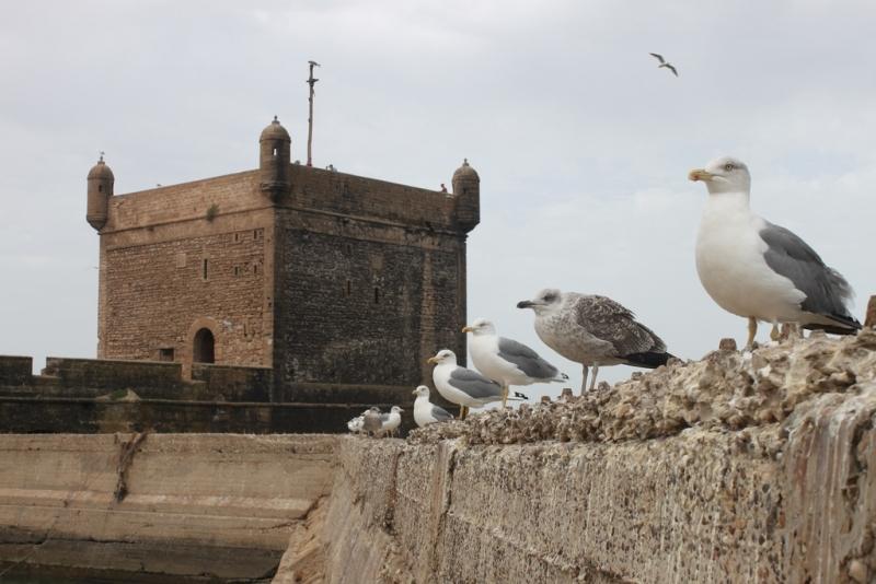 Gaivota surpreendente em Essaouira