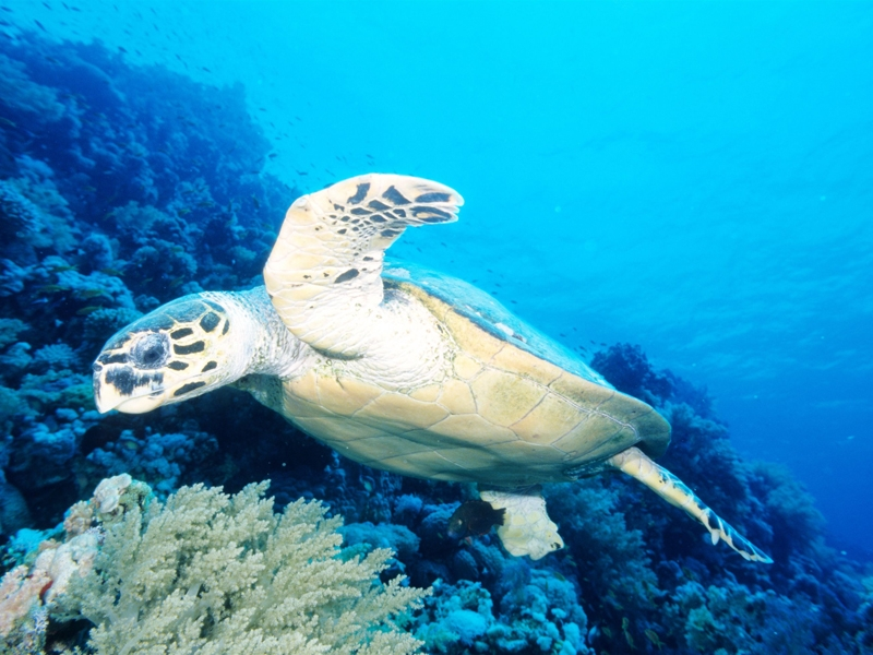 Red Sea Turtles