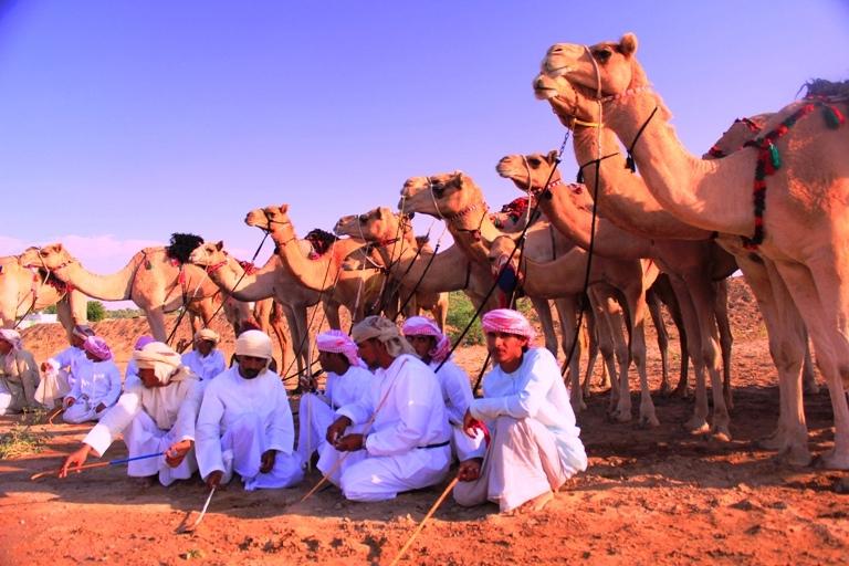 Omani Camels