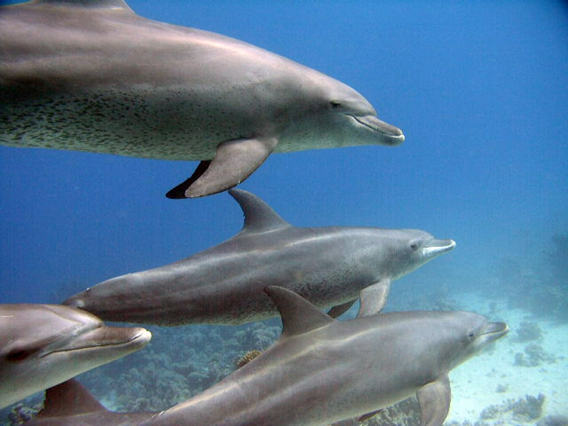 Dolphins at Taba, Red Sea
