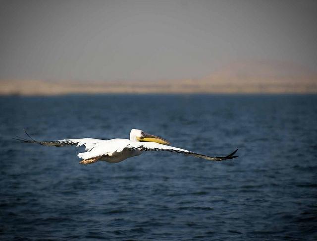 A Bird Flying over Lake Nasser