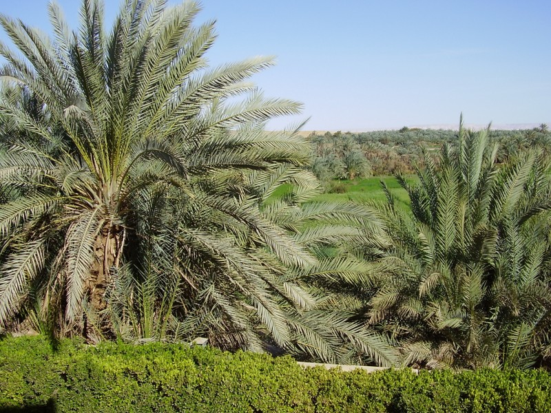 Palms in Kharga Oasis