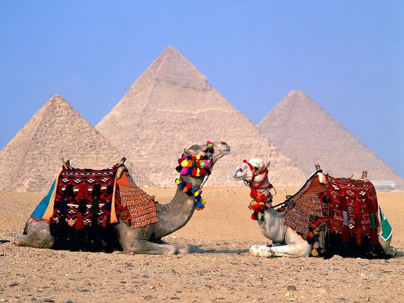 Camels around Pyramids
