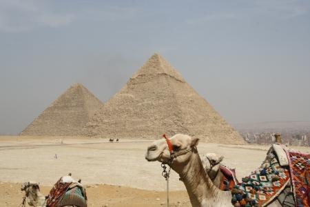 Camels around the Pyramids