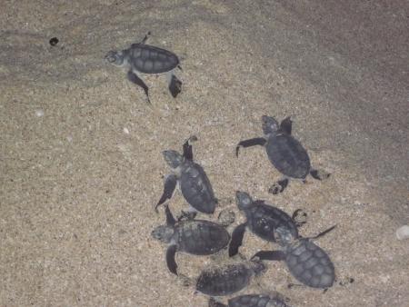 Small Turtles in Ras Al Jinz
