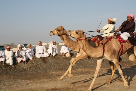 Camel Racing in Oman