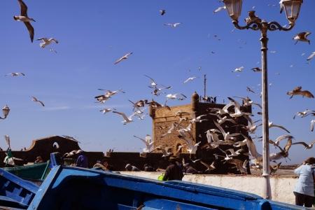 Amazing seagull in Essaouira