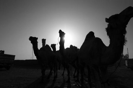 Camel Market (Birqash)