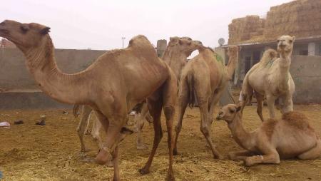 Inside the Camel Market, Cairo