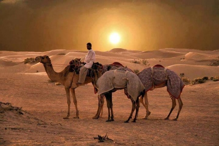 Camels at the Oases, Egypt