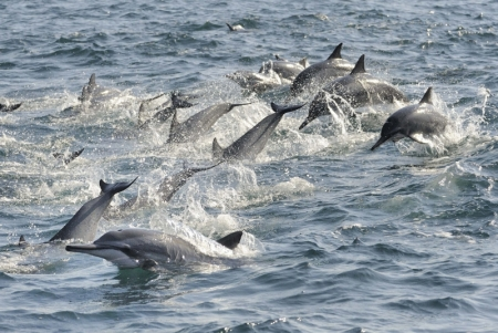 Humpback Dolphins in the Oman Golf
