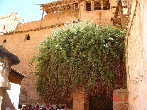 The Burning Bush at St. Catherine Monastery