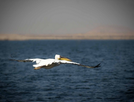 A Bird Flying over Lake Nasser