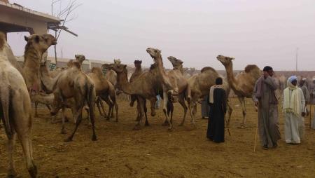 Camel Market, Cairo