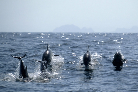 Variety of dolphins in Oman