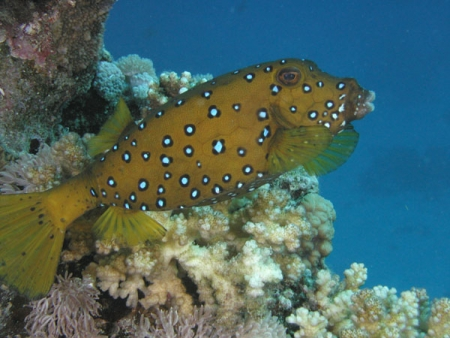 Yellow Fish, Red Sea
