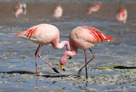 Flamingos in Egypt