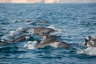 Dolphin Watching Trip Muscat from Muscat port