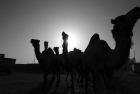Camel Market at Birqash | Cairo Attractions
